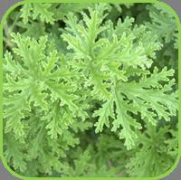 Geranium - Citronella Geranium