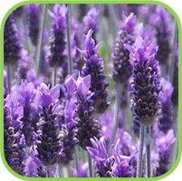 Lavender_Candicans_thumb