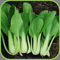 Oriental veg - Pak choi