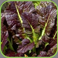 Oriental veg - Red Giant