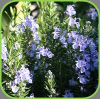 Rosemary - Blue Rosemary