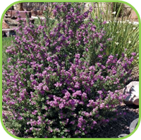 Sage - Purple sage