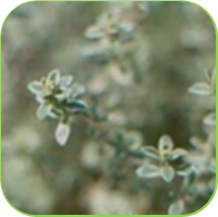 Silver posie thyme