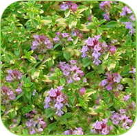 Thyme -Doone valley thyme