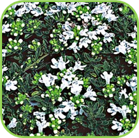 Thyme - Green thyme