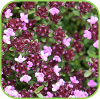Thyme - Pink thyme