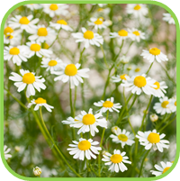 Chamomile_German_thumb