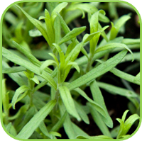 French Tarragon 3