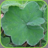 Geranium - Peppermint geranium