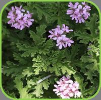 Geranium - Rose geranium