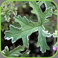 Geranium - Variegated geranium