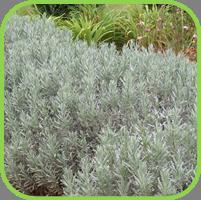 Lavender dutch