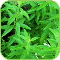 Lemon verbena 2