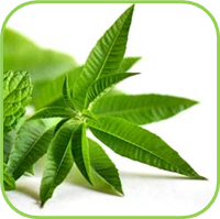 Lemon verbena 3