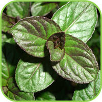 Mint Healthy Living Herbs