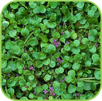 Lawn pennyroyal mint