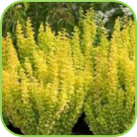 Oregano - Golden upright