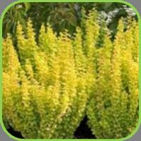 Oregano - Golden upright