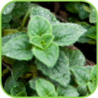 Oregano - Hot and Spicy