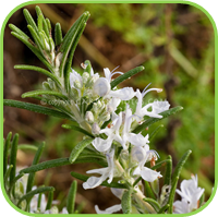 Rosemary - White rosemary