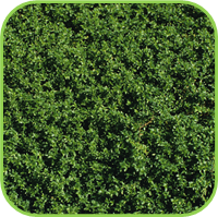 Thyme - Creeping thyme