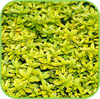 Thyme - Golden thyme