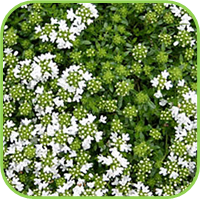 Thyme - White thyme