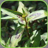 Vietnamese coriander