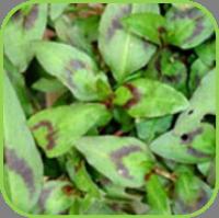 Vietnamese coriander 2