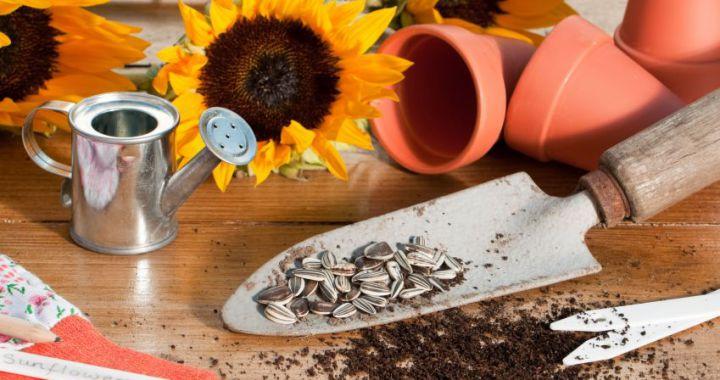 Sunflower pots