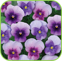 Viola common