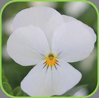Viola sweet