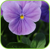 Viola wood