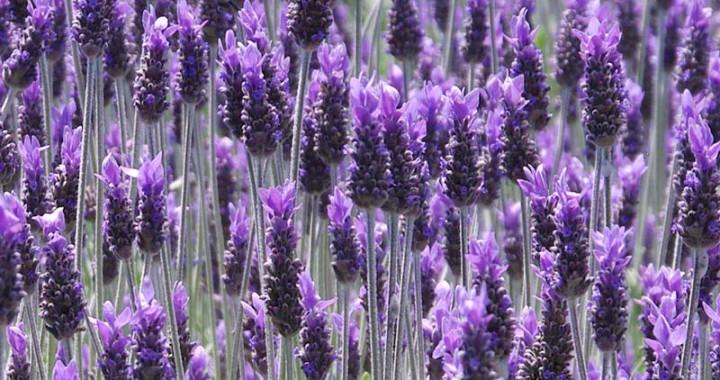 The Best Flowering Herbs Healthy Living Herbs