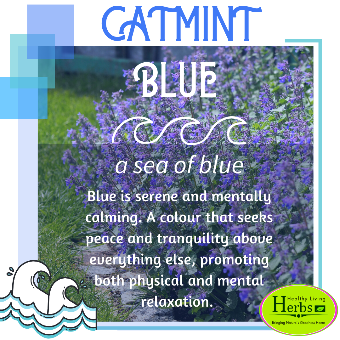 Catmint Blue